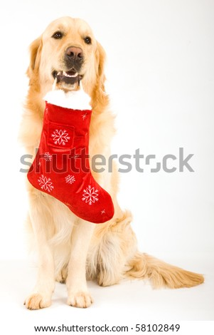 Golden Retriever with Santa stocking in mouth, on white background