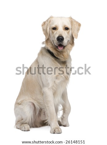 Golden Retriever (1 year) in front of a white background