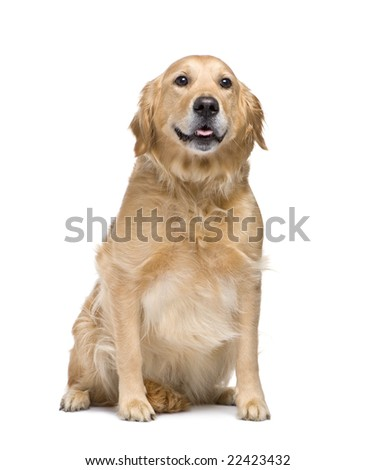 Golden Retriever (5 years) in front of a white background
