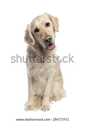 Golden Retriever (5 years old) in front of a white background