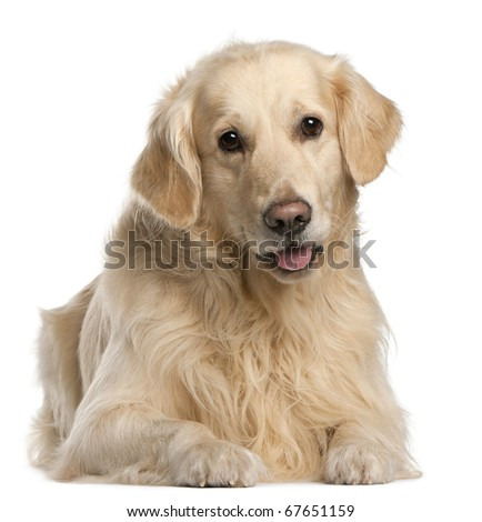 Golden Retriever, 7 years old, sitting in front of white background
