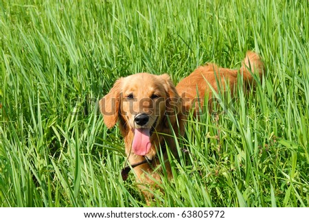 golden retriever young dog in green grass outdoor