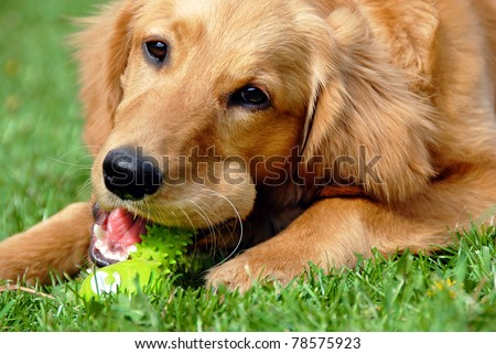 golden retriever young dog portrait with toy bone