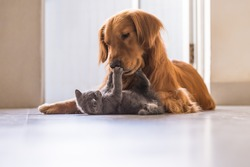 Golden retrievers and British shorthair