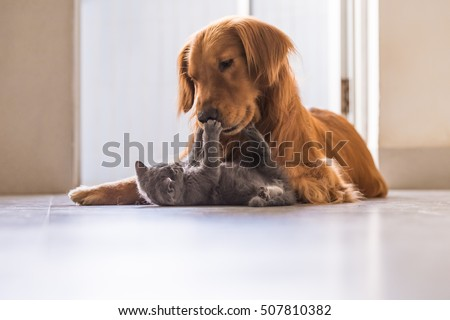 Golden retrievers and British shorthair #507810382
