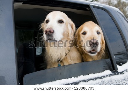 Golden Retrievers going for a car ride