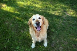 Golden Retriver dog  friends hapy love
