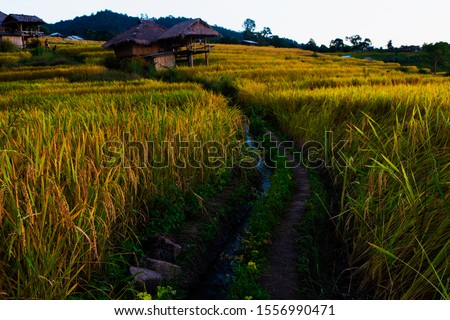 Golden rice fields in the rice fields