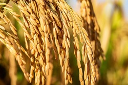Golden rice paddy rice ear closeup growing in autumn paddy field