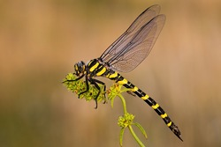Golden ringed dragonfly, cordulegaster boltonii, in summer. Full body of an insect predator from side view. Close-up of wildlife sitting still with natural background.