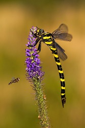 Golden ringed dragonfly, cordulegaster boltonii, sitting on violet wildflower and fly fling around. Two species of insects in summer. Vertical composition of full body animal.