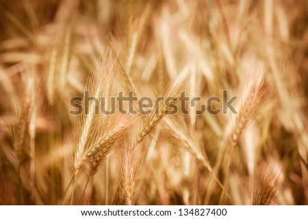 Golden ripe cereal ears grow on field, many plants ready to harvest, closeup on ears and blurred background, open air. Photo taken in Poland.