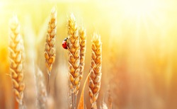 Golden ripe ears of wheat and ladybug on nature in summer field at sunset rays of sunshine, close-up macro with free space. Summer background, template, wallpaper, copy space