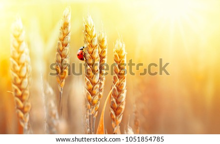 Golden ripe ears of wheat and ladybug on nature in summer field at sunset rays of sunshine, close-up macro with free space. Summer background, template, wallpaper, copy space #1051854785