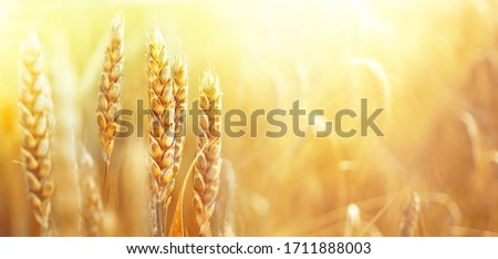 Golden ripe ears of wheat on nature in summer field at sunset rays of sunshine, close-up macro. Ultra wide format.