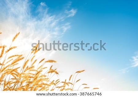 Golden ripe ears of wheat on the field