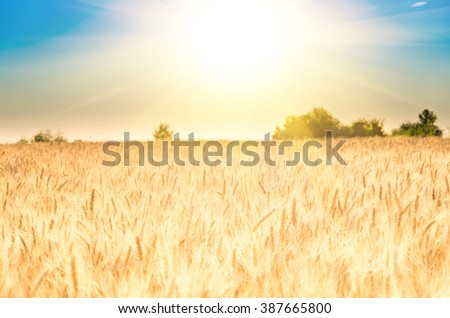 Golden ripe ears of wheat on the field #387665800