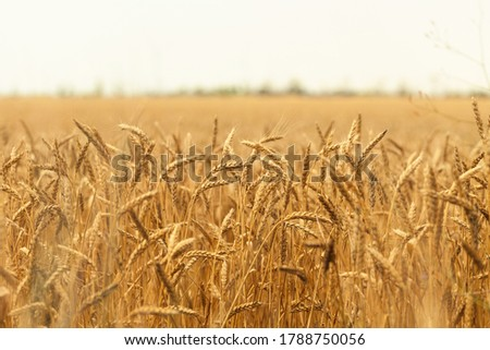 Golden ripe ears of wheat ready for harvest. Wheat field. Summer harvest of ripe wheat. Agriculture. Cornfield in countryside