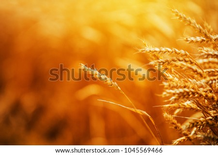 Golden ripe wheat ears in cultivated agricultural crops field, cereal plant is ready for harvest #1045569466