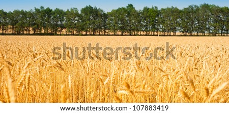 golden ripe wheat field