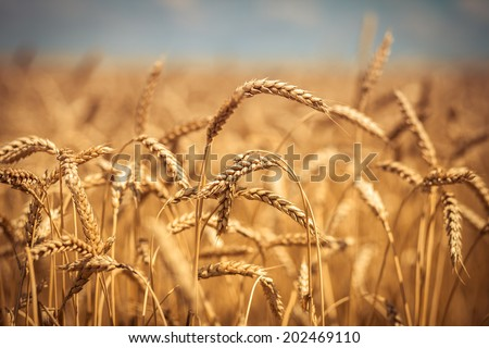 Golden ripe wheat field, sunny day, soft focus, agricultural landscape, growing plant, cultivate crop, autumnal nature, harvest season concept #202469110