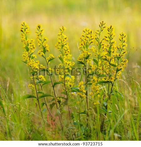golden-rod close up. - stock photo