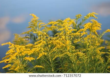 golden rod flower #712357072
