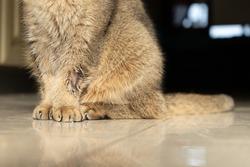 golden Scottish Fold cat is sick with lichen