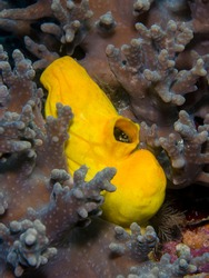 Golden sea squirt (polycarpa aurata) on a coral reef