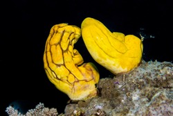 Golden sea squirts (polycarpa aurata) on a coral reef