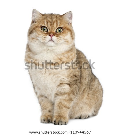 Golden shaded British shorthair, 7 months old, sitting against white background
