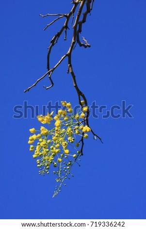 Golden Shower Tree #719336242