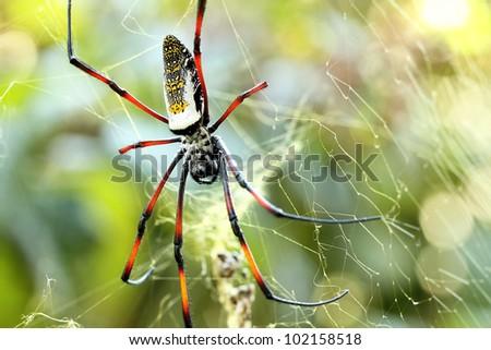 Golden silk orb weaver spider female on golden web