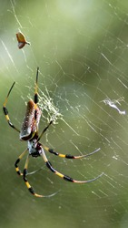 Golden silk orb weaver spider in a web at a city park in Fort Lauderdale, Florida, USA
