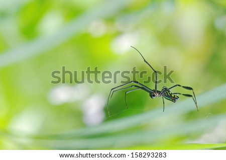 Golden silk orb-weaver spider is staying on their web; side view