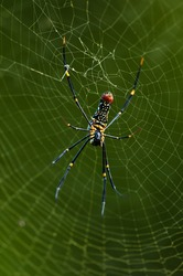 Golden silk orb weaver spider scientific name Nephila Pilipes creating its large web