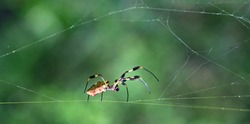 Golden Silk Orbweaver (Nephila clavipes) crawling along her web