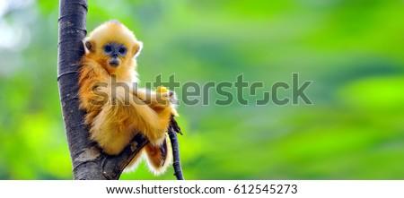 Golden Snub-nosed Monkey #612545273