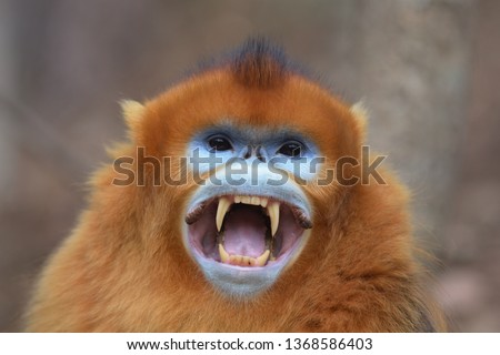 Golden Snub-nosed Monkey (Rhinopithecus roxellana) Adult male showing its fangs in a threat at Foping Nature Reserve, Shaanxi Province, China. Сток-фото ©