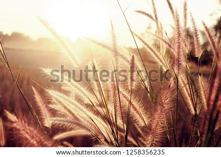Golden soft light and sunset in the reeds and meadow. #1258356235