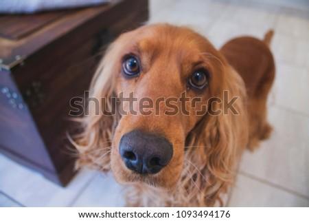 Golden Spaniel Dogs  #1093494176