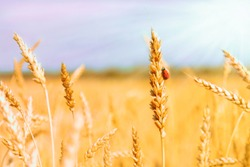 Golden spikelets of ripe wheat and ladybug on nature yellow field at sunset rays with sunshine close-up. Spring summer background, copy space.