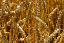 golden spikelets of wheat in the field close up. Ripe large golden ears of wheat against the yellow background of the field. Close-up, nature. The idea of a rich summer harvest, farming