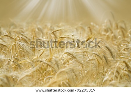 Golden spikelets of wheat in the sunlight.