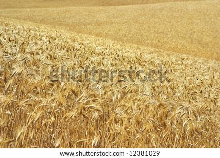 Golden spikes in field.