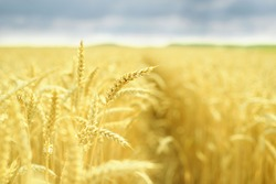 Golden spikes of wheat in the field before harvesting