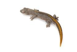 Golden Spiny-tailed Gecko (Diplodactylus taenicauda) isolated on white background.