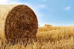 Golden straw bales photographed in late Summer. Agricultural landscape against bright blue sky with wispy white cloud.