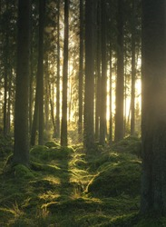 golden sunlight in a mysterious Scandinavian forest, a forest of myths and legends, rays of the sun, a mossy ancient woods, a forest from a fairy tale, picturesque