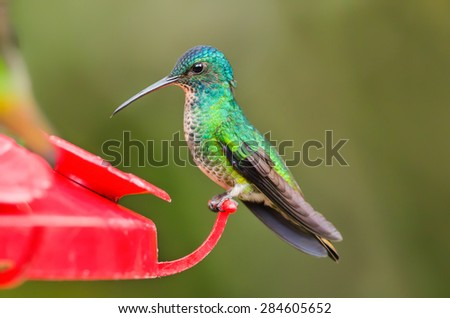 Shutterstock Golden tailed sapphire (Chrysuronia oenone) hummingbird on a feeder